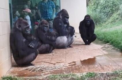 gorillas try to stay out of rain in hilarious viral video