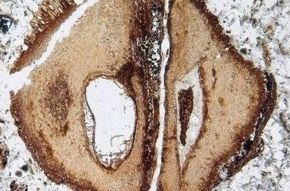 Scientists find oldest piece of mahogany wood age of dinosaurs