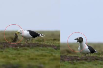 Seagull swallows a whole rabbit in single take video
